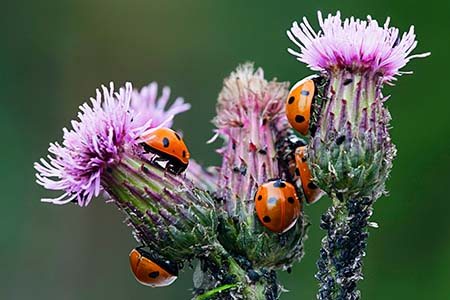 Ladybirds hunting aphids