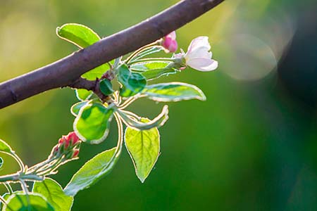 Blossoming apple branch. White flower, pink buds and bright gree