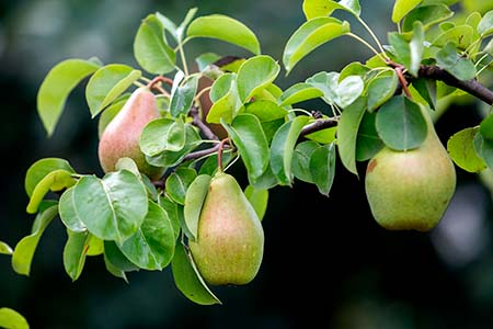 Close-up bunch of beautiful green pears hanging ripening on tree